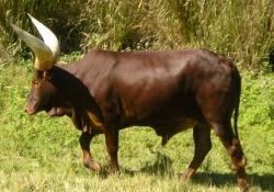 6-Vaca-Watusi