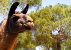 8-Llama-del-Peru